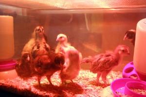 Chickens 3232013 5