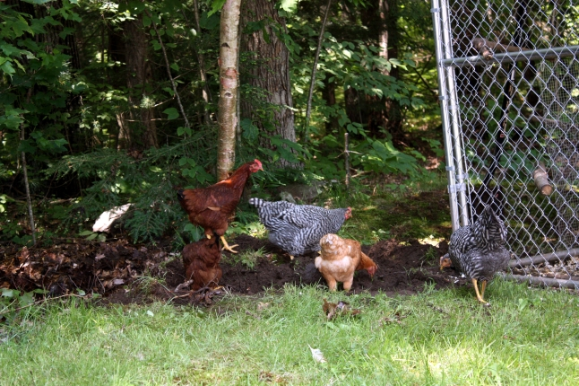 First Day Free Ranging 3 - 742013