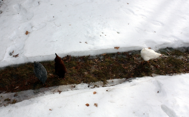 Chickens Finally Come Out on Cleared Path 1142014